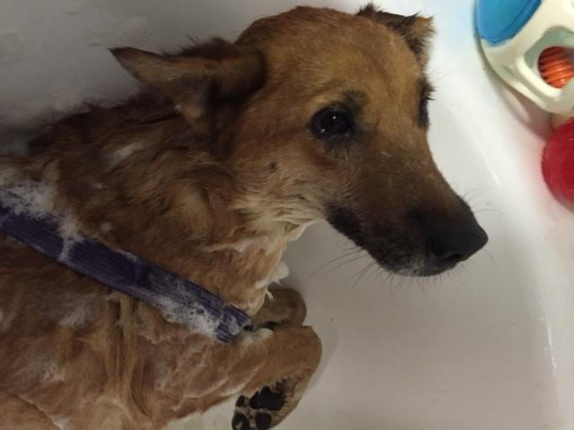 This is one of the 20 dogs at OLBH from the Owen County hoarding situation. This lucky dog is getting a flea bath. Thank you to Foxy Mutts Grooming Salon in Spencer, IN for grooming these sweet dogs and thank you to all the volunteers who donated materials, time, and money. It could NOT be done without you all!